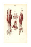 Muscles and Tendons of the Forearm and Hand Giclée-Druck