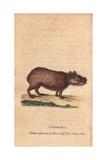 Capibara or CapybaraHydrochoerus Hydrochaeris (Cavia Capybara) Giclee Print