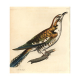Northern Flicker, Colaptes Auratus Giclee Print by Richard Polydore Nodder