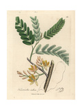Yellow Flowered Tamarind Tree, Tamarindus Indica Giclee Print by James Sowerby