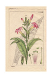 Virginia Tobacco with Pink Flowers and Leaves, Nicotiana Tabacum Giclee Print