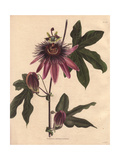Passiflora Caeruleo RacemosaPassionflower Hybrid Giclee Print