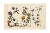 Alfalfa, Medicago Sativa, Black Medic Medicago Lupulina, and Corn Spurry Spergula Arvensis Giclee Print