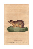 Spotted Marmot or Spotted SuslikSpermophilus Suslicus Giclee Print