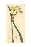 Pale Narcissus or Primrose Peerless, Narcissus Biflorus Giclee Print by James Sowerby