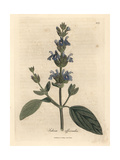 Blue Flowered Sage, Salvia Officinalis Giclee Print by James Sowerby