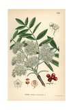 European Rowan or Mountain-Ash, Sorbus Aucuparia Giclee Print