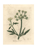 Yellow Flowered Lovage, Ligusticum Levisticum Giclee Print by James Sowerby