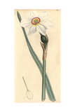 Poetic Narcissus, Narcissus Poeticus Giclee Print by James Sowerby