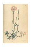 Mountain Pink, Dianthus Caesius Giclee Print by James Sowerby