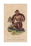 Bush-Tailed Monkey, Sajou Monkey or Weeper Capuchin MonkeyCebus Olivaceus (Simia Sapajus Trepidus) Giclee Print