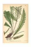Deer Fern, Blechnum Spicant Giclee Print