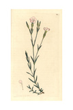 Maiden Pink, Dianthus Deltoides Giclee Print by James Sowerby