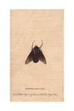 Spotted Blue Fly of New South Wales (Rutilia Sp) Giclee Print