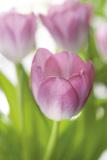 Tulipa Roseus II Giclee Print by Eva Charlotte Fransson