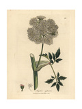 Wild Angelica Giclee Print by James Sowerby
