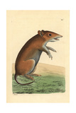 Short-Nosed Bandicoot, Isoodon Obesulus Giclee Print