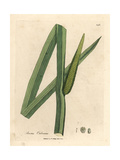 Sweet Flag, Acorus Calamus Giclee Print by James Sowerby