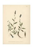 Arctic Bellflower, Campanula Uniflora Giclee Print