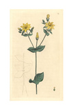 Yellow Centaury, Blackstonia Perfoliata Giclee Print by James Sowerby
