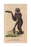 Long-Armed Ape or Gibbon Hylobates Giclee Print