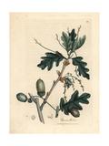 Leaves and Acorns of the Common Oak, Quercus Robur Reproduction procédé giclée par James Sowerby