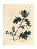 Leaves and Acorns of the Common Oak, Quercus Robur Giclée-tryk af James Sowerby