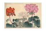 Geraniums, Pelargonium X Hortorum Giclee Print