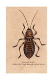 Whistle Insect, Eugaster Spinulosa Giclee Print