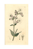 Bladder Campion, Cucubalus Behen Giclee Print by James Sowerby