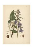 Rampion Bellflower, Campanula Rapunculoides Giclee Print