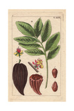 Cacao Tree with Fruit, Flowers, Nut, Theobroma Cacao Giclee Print