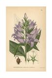 Giant Bellflower, Campanula Latifolia Giclee Print