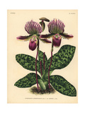 Sir Trevor Lawrence's Cypripedium Orchid Giclee Print