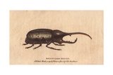 Rhinoceros Beetle Giclee Print