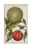Large Grapefruit -Like Fruit Tree Native to Southeast Asia Citrus Decumana Giclee Print