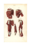 Muscles of the Shoulders and Arms Giclée-Druck