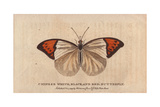 Chinese White, Black and Red Butterfly Giclee Print