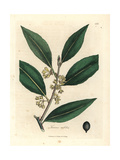 Yellow Flowered Sweet Bay Leaves, Laurus Nobilis Giclee Print by James Sowerby