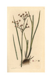 Jointed Rush, Juncus Articulatus Giclee Print by James Sowerby