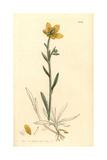 Yellow Marsh Saxifrage, Saxifraga Hirculus Giclée-Druck von James Sowerby