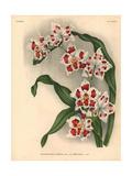 Griselidis Variety of Odontoglossum Crispum Orchid Giclee Print