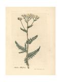 White Flowered Yarrow or Milfoil, Achillea Millefolium Giclee Print by James Sowerby