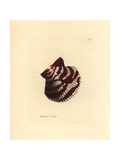 Variegated Scallop, Chlamys Varia Giclee Print by Richard Polydore Nodder