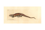 Two-Faced Neusticurus, Neusticurus Bicarinatus Giclee Print by Richard Polydore Nodder