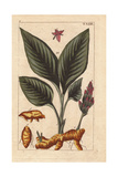 Turmeric Flower, Leaves and Rhizome Root, Curcuma Longa Giclee Print