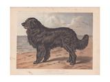 Newfoundland Dog - Leo Giclee Print
