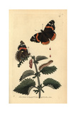 Red Admiral Butterfly, Vanessa Atalanta Giclee Print