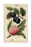 Fruit Giclee Print