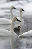 Trumpeter Swans, Cygnus Buccinator, and a Duck Swimming in Calm Water Photographic Print by Michael S. Quinton